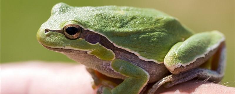 青蛙除了用肺呼吸之外还可以用什么呼吸,能用鳃呼吸吗