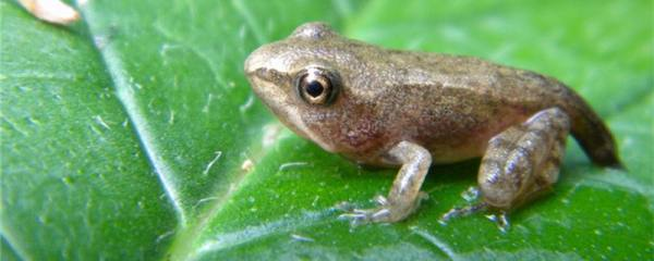 青蛙冬眠吃什么食物,为什么可以不吃食