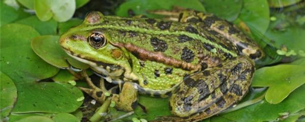 青蛙冬眠时会呼吸吗,用什么来呼吸