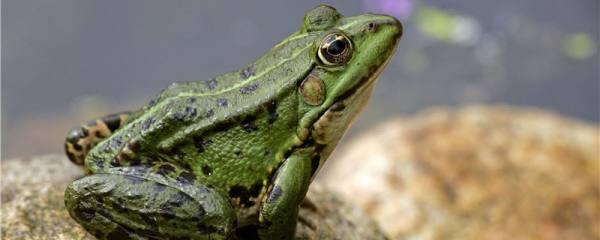 青蛙生活在什么地方,什么时间出来活动