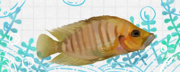 金头珍珠虎鱼好养吗,怎么养