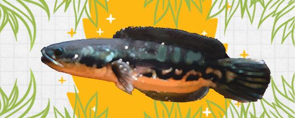 铅笔雷龙鱼好养吗,怎么养