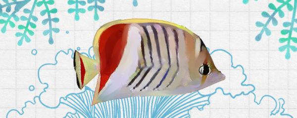 红尾蝶鱼好养吗,怎么养