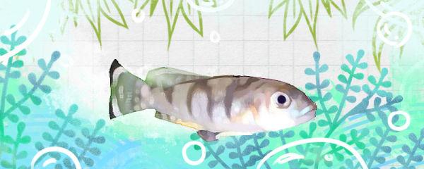 美丽贝鱼好养吗,怎么养