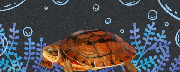 三线闭壳龟是半水龟吗,水深多少合适