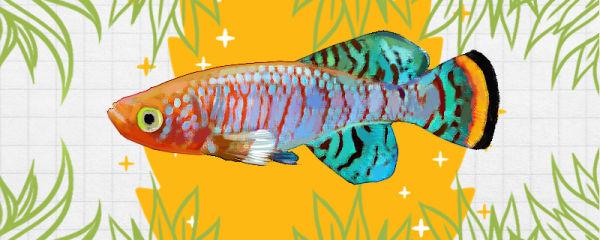 罗氏琴尾鱼好养吗,怎么养