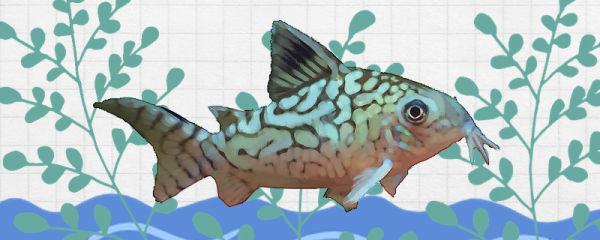 大花网鼠鱼好养吗,怎么养