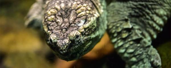 乌龟喂食是在水里吗,乌龟喜欢吃什么