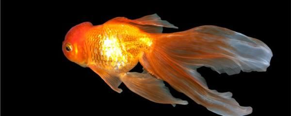 为什么金鱼吃了饲料又吐出来,金鱼吐饲料怎么办