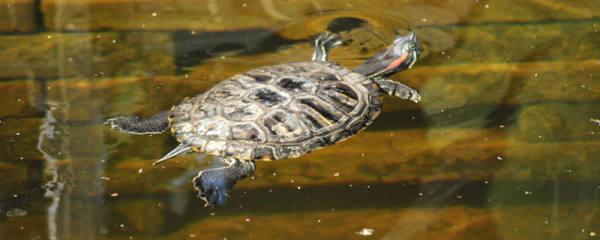 乌龟会不会淹死,怎么防止乌龟溺水