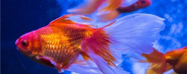金鱼可以几天不喂食,可以几天不换水
