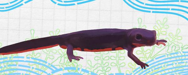 东方蝾螈能活多久,养多久可以产卵