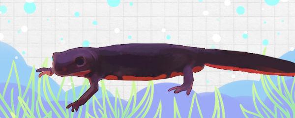 东方蝾螈有毒吗,能养殖吗