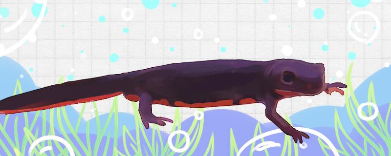 东方蝾螈怎么养,需要打氧吗