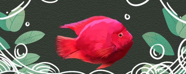 红鹦鹉鱼不吃食是怎么回事,怎么处理
