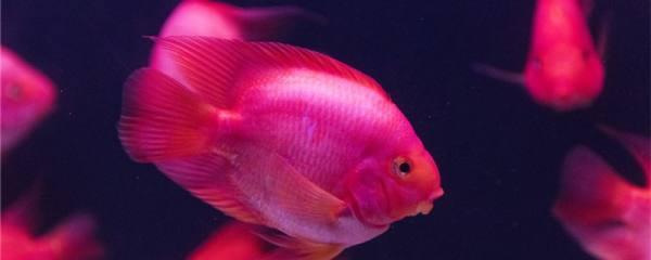 红鹦鹉鱼身上有白点是什么原因,怎么治疗