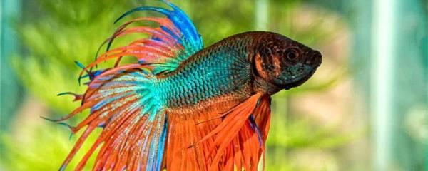 泰国斗鱼可以长多大,多大能繁殖