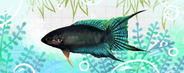 耐低氧的淡水鱼有哪些,不打氧能养活吗