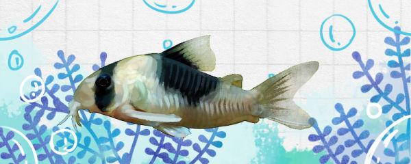 超级双色鼠鱼好养吗,怎么养