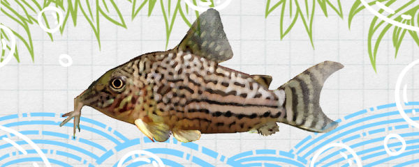 皇冠黑珍珠鼠鱼好养吗,怎么养