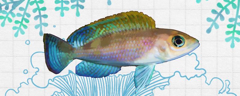 黄帆天堂鸟鱼好养吗,怎么养