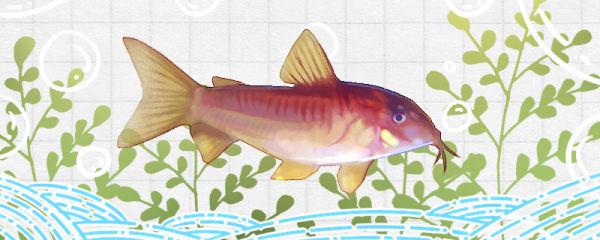 金线红鼠鱼好养吗,怎么养