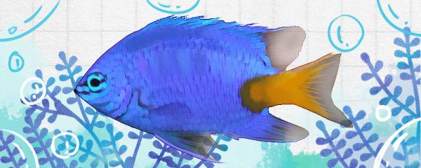 蓝魔鬼鱼好养吗,怎么养