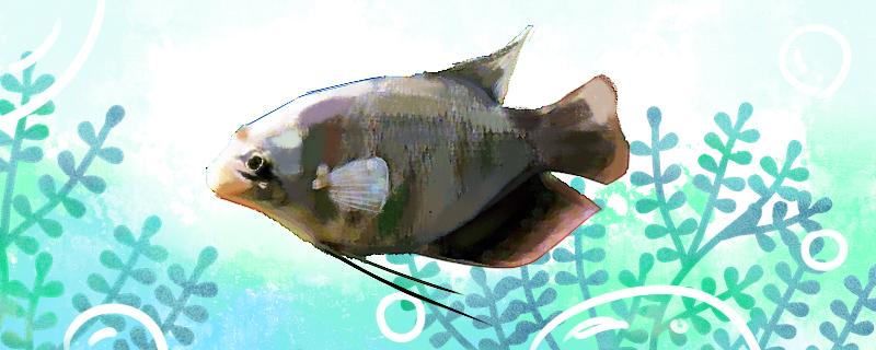 长丝鲈鱼好养吗,怎么养