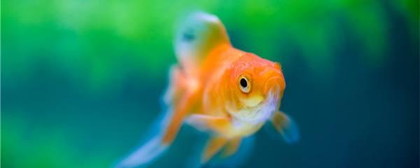 金鱼冬天多久喂一次食,喂什么饲料