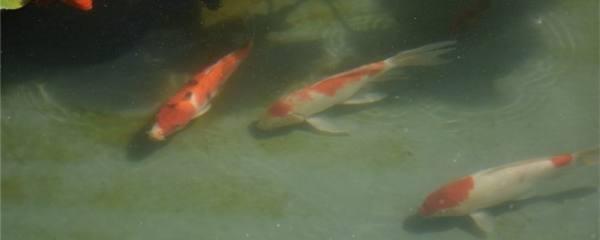 金鱼吃多了翻肚怎么治,多久能恢复