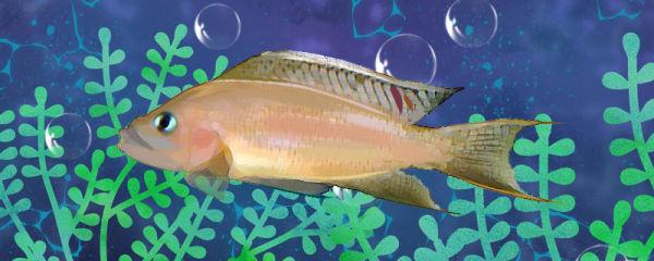 瓦特力白边燕尾鱼好养吗,怎么养