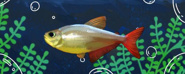 红尾梦幻灯鱼好养吗,怎么养