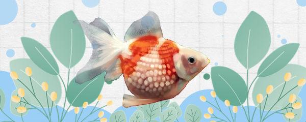 凤尾珍珠鱼好养吗,怎么养