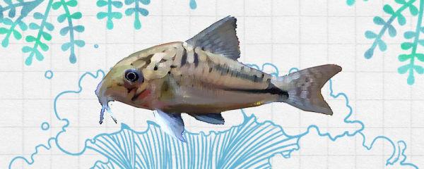 烟圈鼠鱼好养吗,怎么养