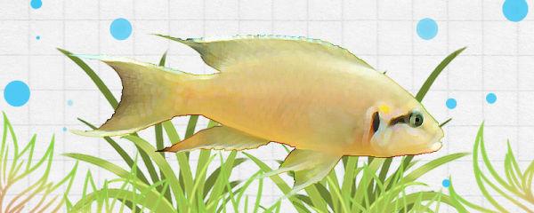 女王燕尾鱼好养吗,怎么养