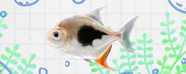 银板鱼好养吗,怎么养