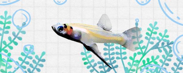 吉拉德鳉鱼好养吗,怎么养