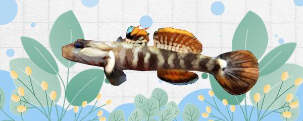 白面虾虎鱼好养吗,怎么养
