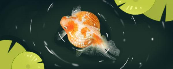 金鱼一天喂几次,喂什么食物