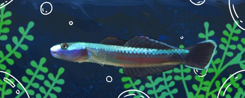 电光虾虎鱼好养吗,怎么养