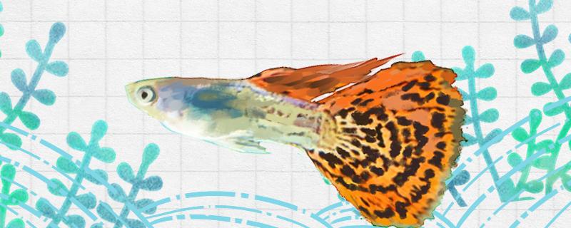 凤尾鱼多大可以繁殖,多久繁殖一次