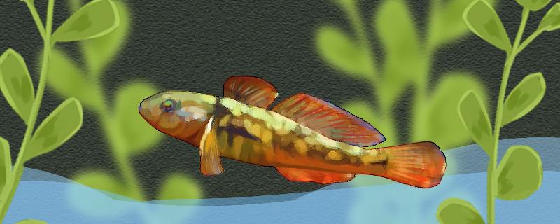 黄黝鱼和虾虎鱼有什么区别,可以混养吗
