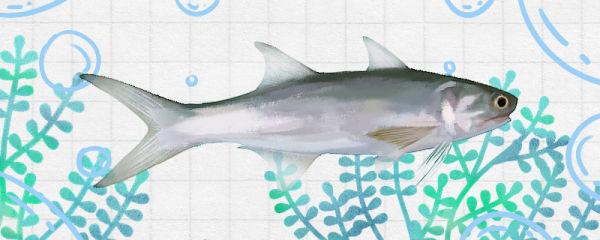 马友鱼是马鲛鱼吗,有什么区别