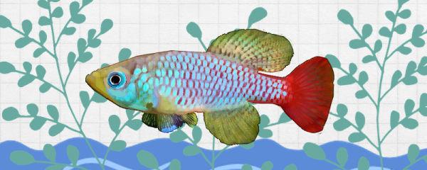 佛氏红圆尾鳉鱼好养吗,怎么养