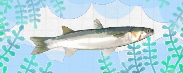 梭鱼和鲻鱼一样吗,有什么区别