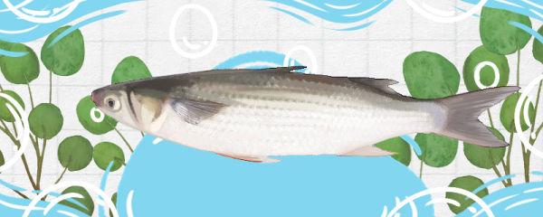乌头鱼和梭鱼的区别是什么,和鲻鱼的区别是什么