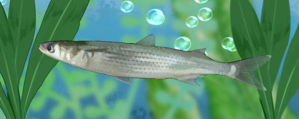 鲻鱼是淡水鱼还是海鱼,生长在哪里
