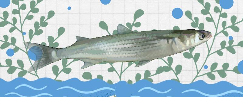 鲻鱼是什么鱼,是乌头鱼吗