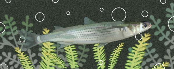 鲻鱼是梭鱼吗,是海鱼么