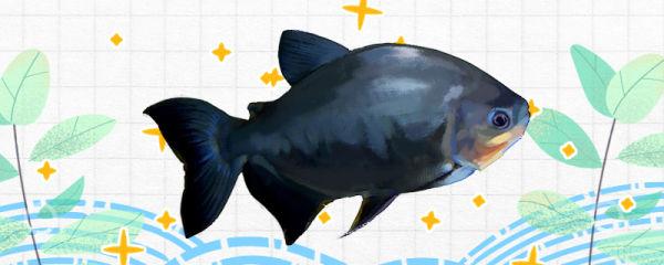 黑银板鱼好养吗,怎么养
